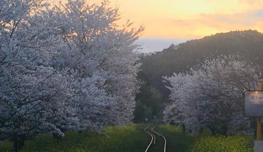 【開花時期と混み具合】いすみ鉄道 桜と菜の花の観光列車を体験、ピンクと黄色の春のトンネルに感動!