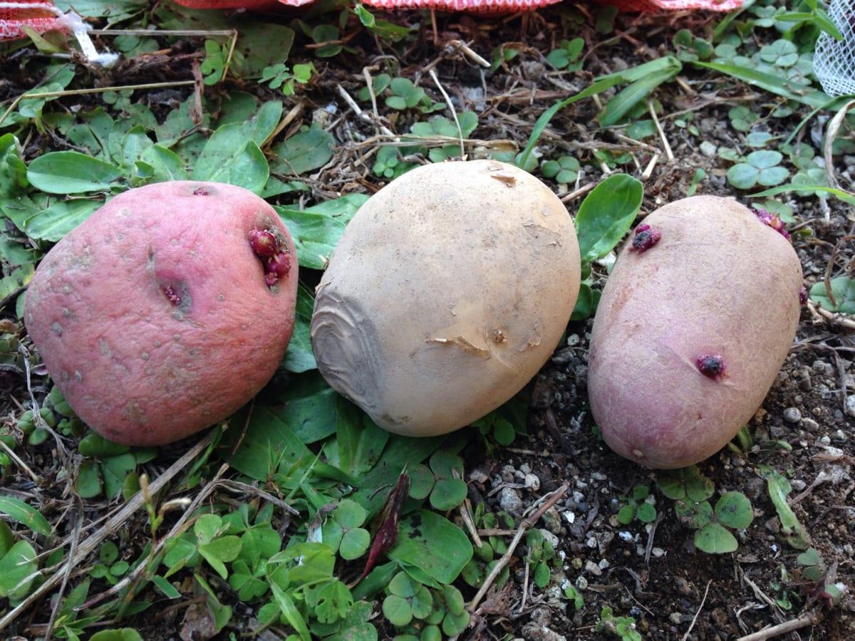家庭菜園で秋植えジャガイモに挑戦! じゃがいもを好きなだけ食べたいから、自給自足で挑戦します!